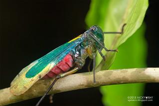Eurybrachid planthopper (Eurybrachidae) - DSC_4597