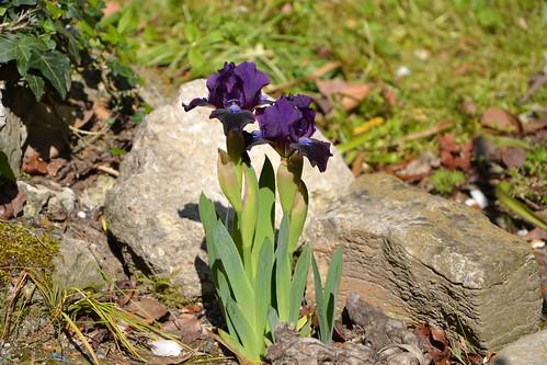 Iris nains horticoles 2012-2015 31934650253_088247c023
