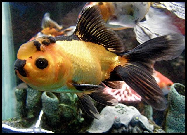Oranda Gold Fish | Meet Little Richard, my fancy orange and