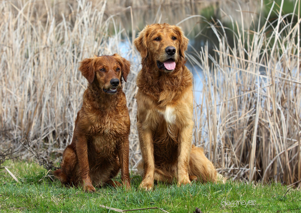 Duck Dogs = Happy Dogs (Field Golden Retrievers) | Another ...