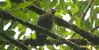 dwarf olive ibis - galinhola by pilrita