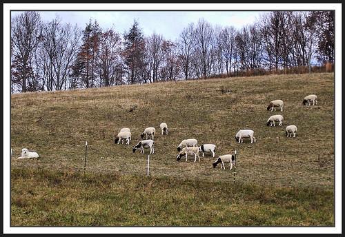 dog virginia sheep pasture blueribbonwinner washingtoncounty supershot platinumphoto anawesomeshot goldstaraward