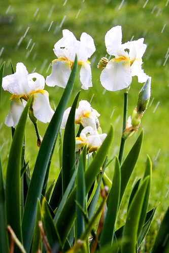 flowers iris white rain happy nc flickr may mayday showers waxhaw mywinners ghholt