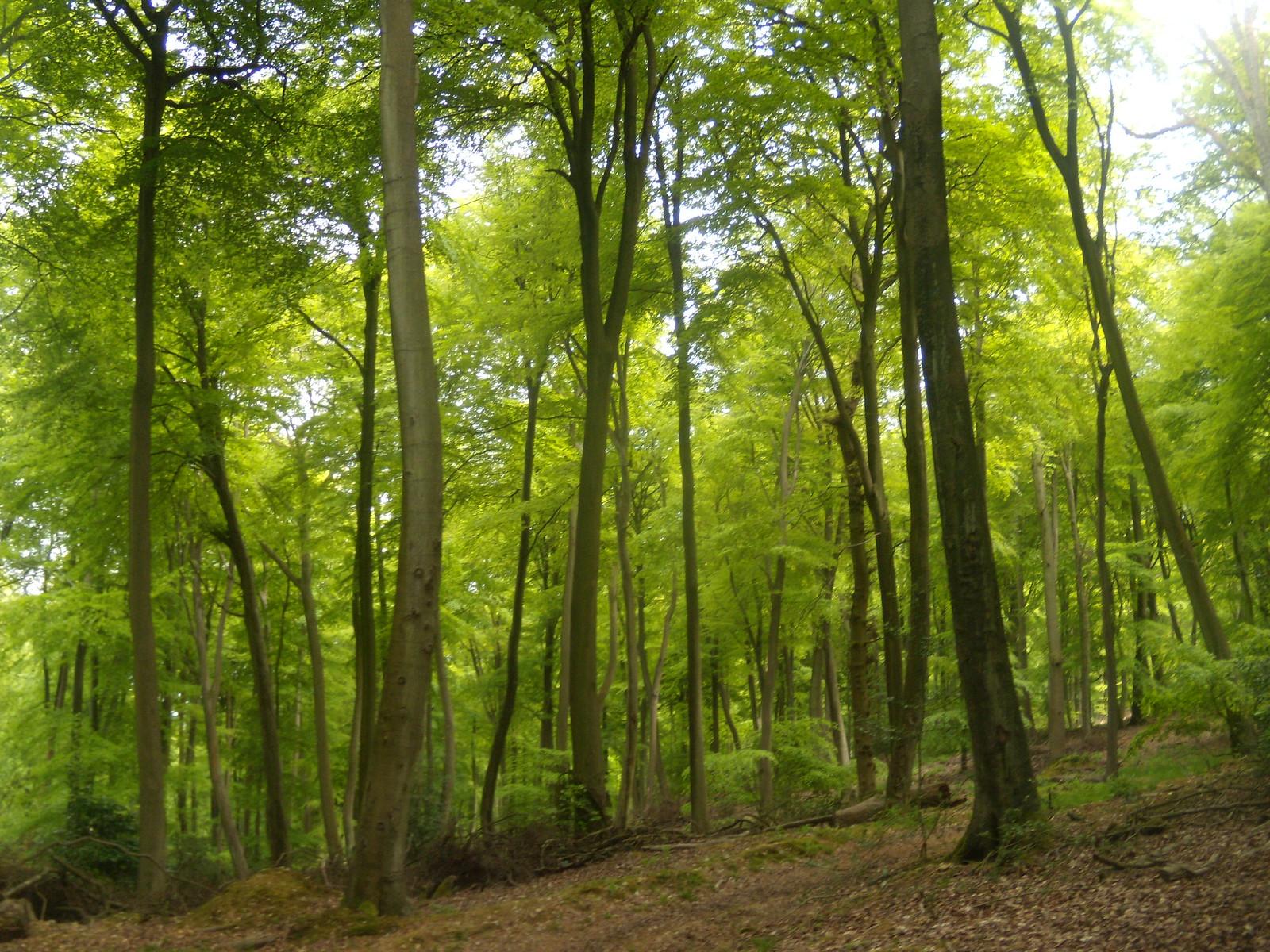 More beech trees Henley Circular via Stonor