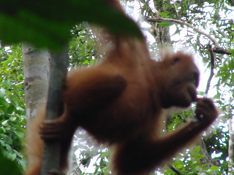 Orangutan, Malaysia