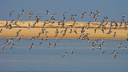 Sanderlings in flight - 2 | by Ramit Singal