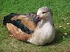 Neochen jubata - Orinoco Goose - Ouette de l'Orénoque -  05/07/04 by Philippe_Boissel