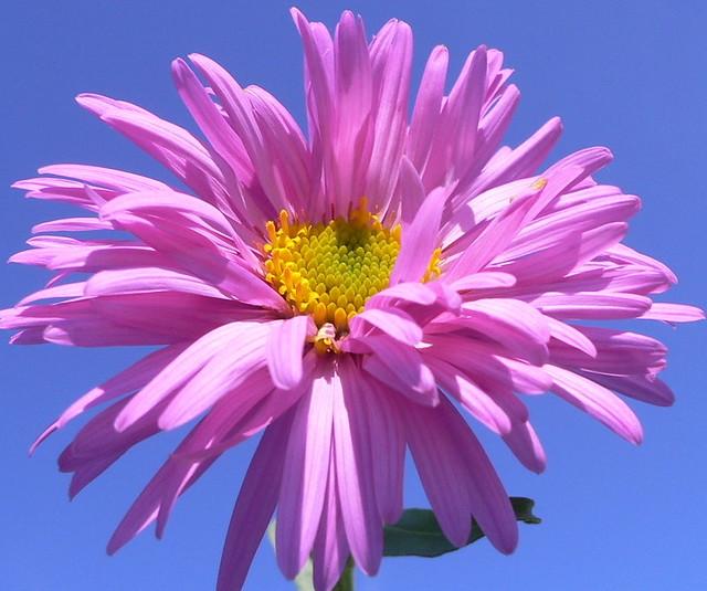 Aster flower