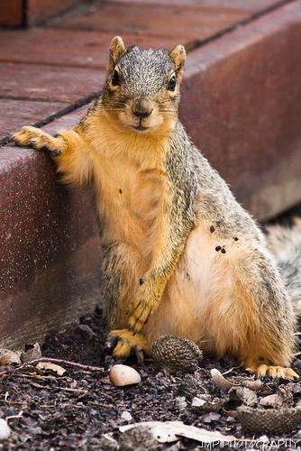 urban cute animal photography rodent furry backyard squirrel searchthebest michigan wildlife fox jmp foxsquirrel mandj98 jmpphotography jamesmarvinphelps michiganfoxsquirrel riverviewmichigan