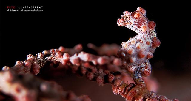 Pygmy Seahorse 1