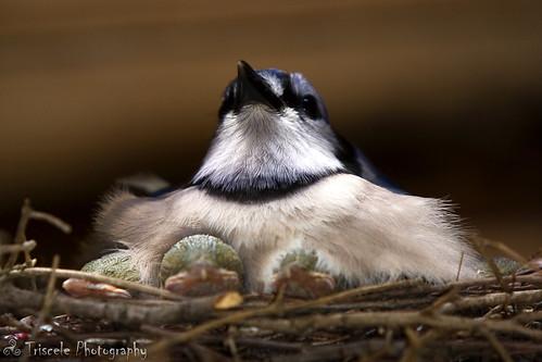 blue bird ma babies jay nest massachusetts momma ayer colorphotoaward