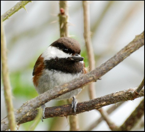 Chestnut-backed Chickadee | by zenseas