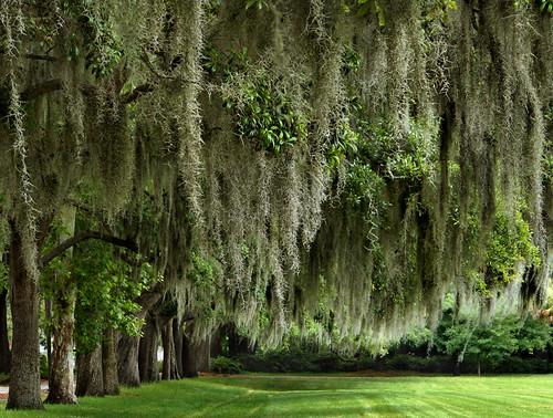 park trees tree green georgia spanishmoss marylee savannah savannahgeorgia maryleemartin cmwd cmwdgreen platinumheartaward kodakz812is maryleeusa maryleepope