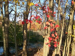 red maple grove at BPP autumn08