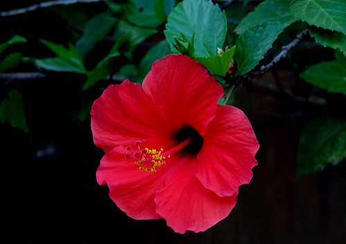 Red Hibiscus | by Hafiz Issadeen