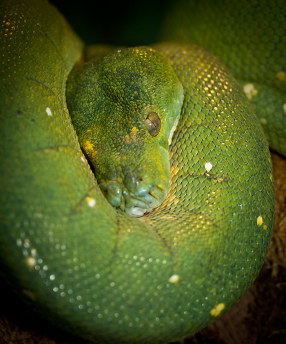 Green Tree Python | by wwarby