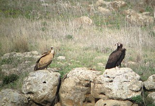 Griffon vulture and Black vulture together (immatures) | by julie.dewilde