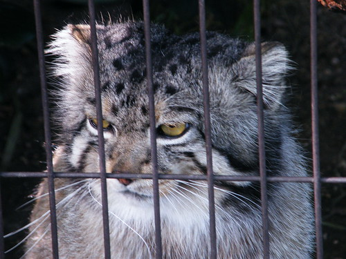 Life inside the cage - wild cat | by emrank