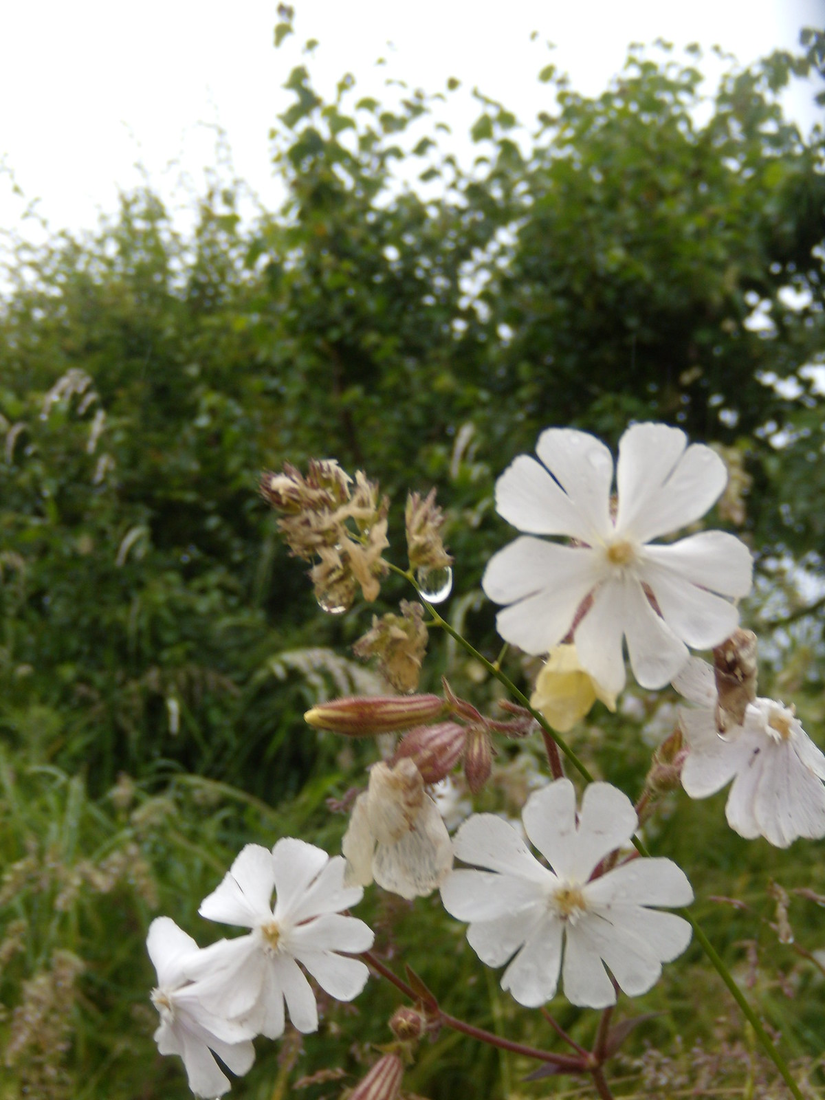 White Campion Appleford Circular