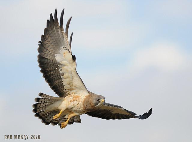 SWAINSON'S HAWK PHOTOS - In-Flight