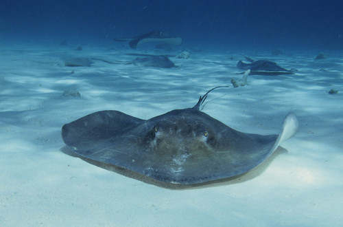 Stingray City, Grand Cayman   by barrypetersphoto