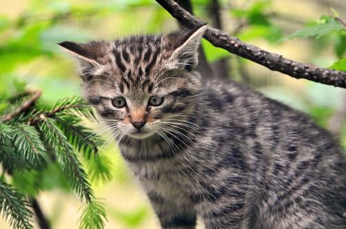 Wild kitty   by Tambako the Jaguar