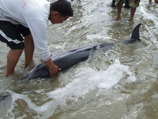โลมาแถบ Striped Dolphin(Stenella coeruleoalba)_04