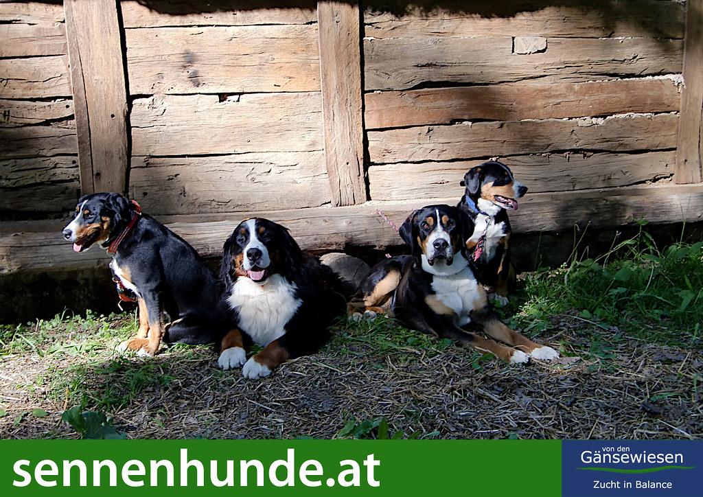 Die 4 Sennenhunderassen