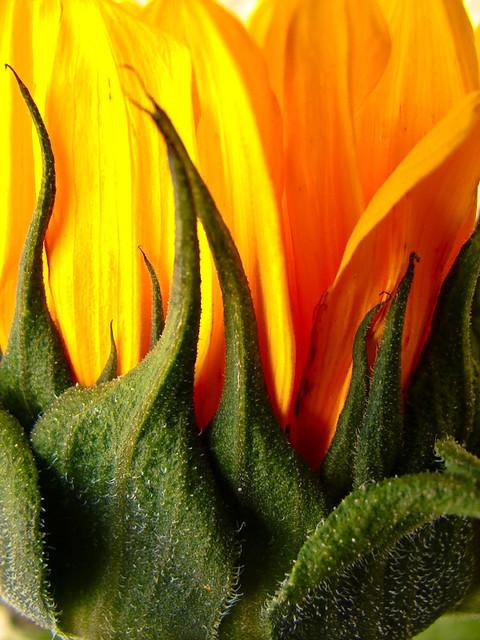 Sunflower flame   Svetlana Peric   Flickr