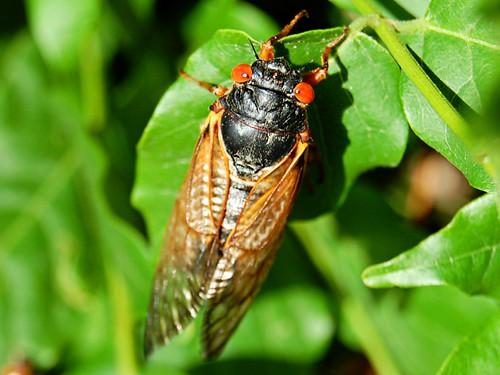 Cicada   by nsdis