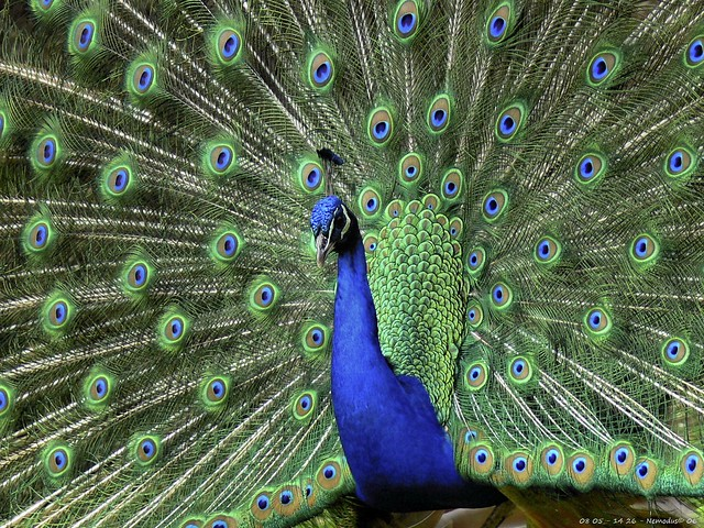 Peacok Seduction