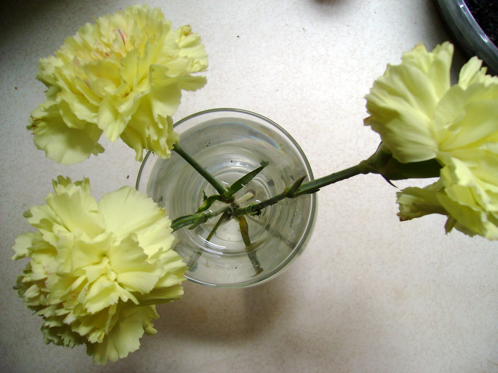carnations yellow