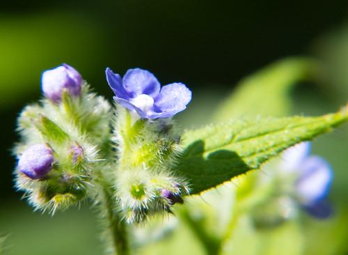 Alkanet flowering