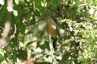 Mangrove Cuckoo, Soufriere, St Lucia, 2005-12-22 (2 of 6).jpg | by maholyoak