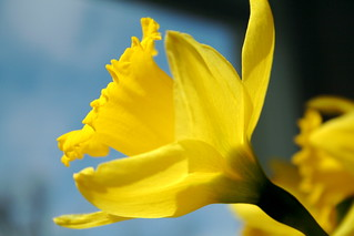 yet another,  attempt at a daffodil | by jodi_tripp