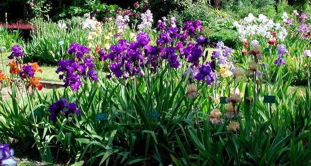 Iris, Jardin des Plantes