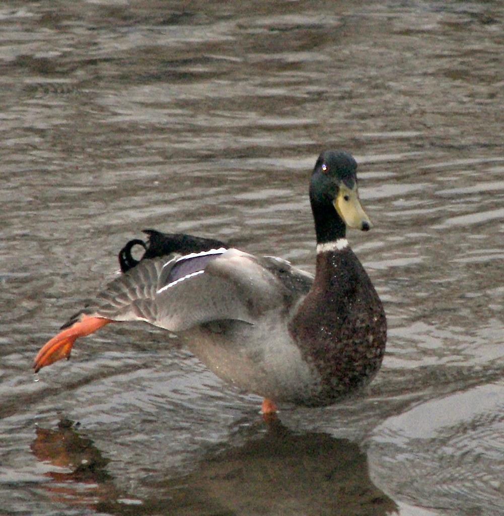 Duck Hokey Pokey
