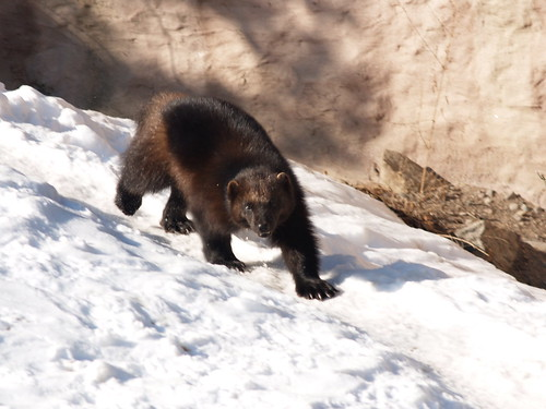 Wolverine in Skansen | by existential hero