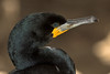 Cape Cormorant (Phalacrocorax capensis) by Gerhard Theron