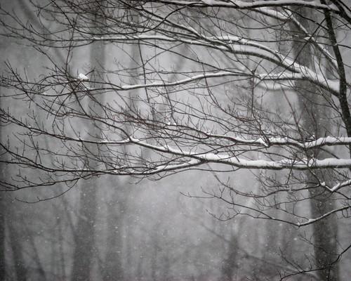 2005 snow tree monochrome canon maple backyard canoneos20d canonef85mmf12lusm