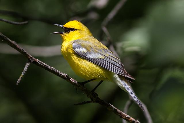 Blue-winged Warbler (male)