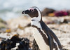 African Penguin (Spheniscus demersus) by George Wilkinson