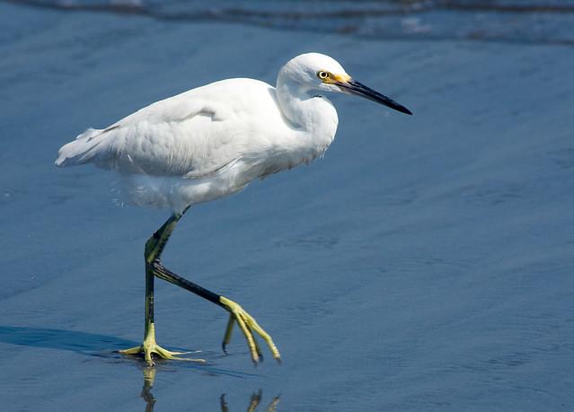 IMG_5105  Snowy Egret_ in Peru