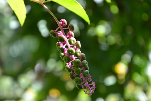 Phytolacca americana - raisin d'Amérique 32814055561_a56af5d64a