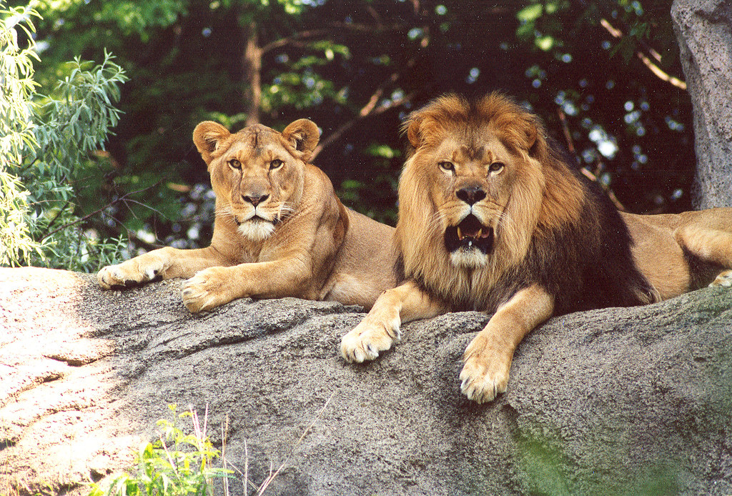 MALE AND FEMALE LIONS FROM THE PITTSBURGH ZOO | This is an o