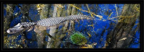 reflection nikon alligator cyprus springs marsh centralflorida silverriver nikond80 18200vrii