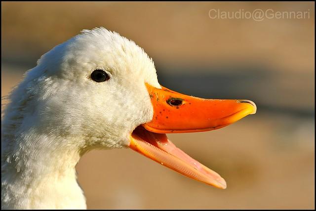 Talkative goose ...
