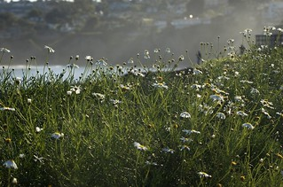 2009.050 . Seaside Wildflowers | by pipilo