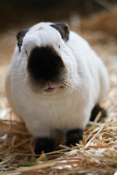 Charmain guinea pig rabbit hybrid
