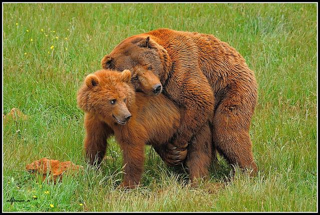 Abrazo De Oso Solo Estaban Jugando Alfonso Flickr